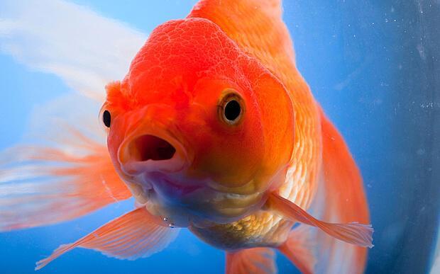 Bir Japon balığını akvaryumdan çıkarıp nehre koyarsanız ne olur?
