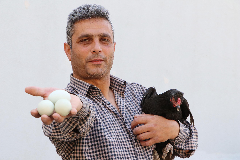 Bu Tavuklar Yesil Yumurtluyor