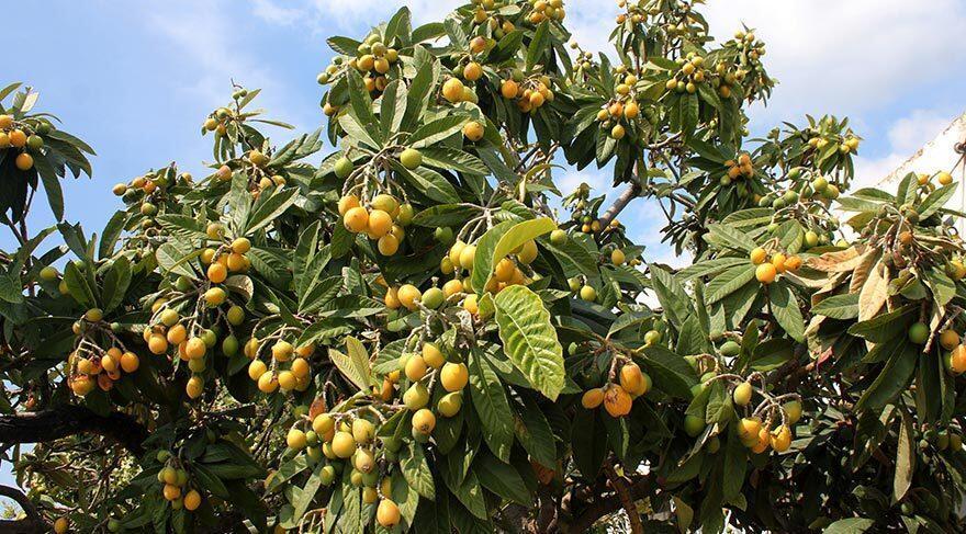 Yeni Dünya Meyvesinin Faydaları Nelerdir? Muşmula (Malta Eriği) Nasıl Tüketilir, Ne İşe Yarar?