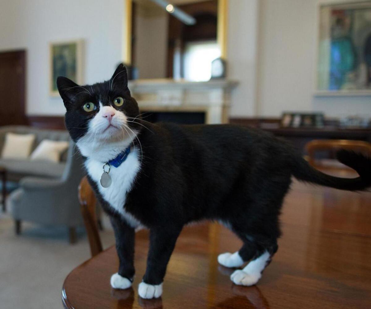 İngiltere'de bakanlığın kadrolu kedisi Palmerston'a mama