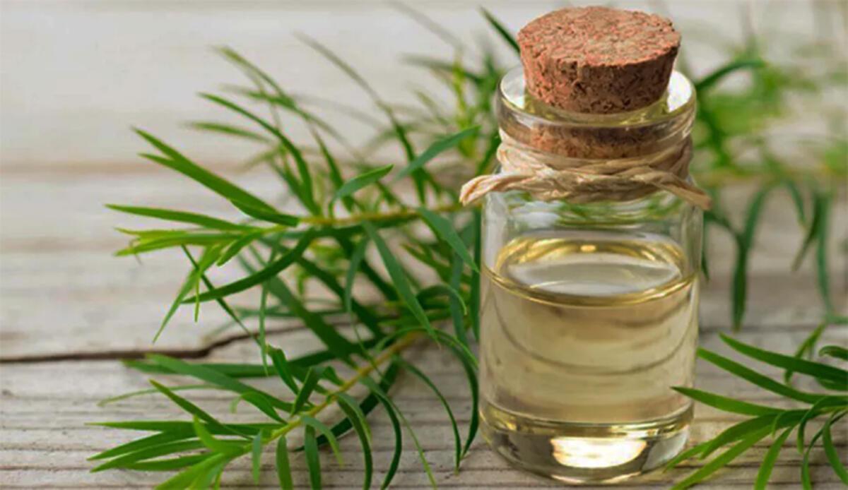 Çay Ağacı Yağının Faydaları Nelerdir? Neye İyi Gelir? Çay Ağacı Yağının Az  Bilinen Faydaları - Sağlık Haberleri