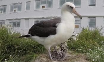 Dünyanın en yaşlı albatros kuşu 40'ıncı yavrusunu dünyaya getirdi