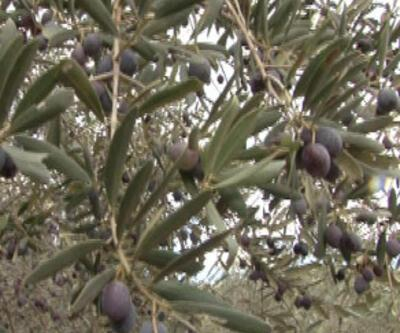 Yeşil Doğa'da zeytin hasadı
