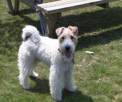 Terrier ırkı köpeğin aşırı havlaması nasıl önlenebilir?