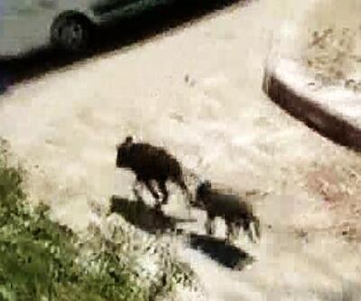 Bodrum'da yaban domuzları aç kalınca şehre indi
