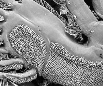 Türk bilim insanları yeni bir parazit türü saptadı