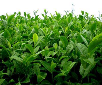 Yeşil çay antioksidan zengini