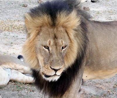 Zimbabveliler ikinci aslan avcısı ABD'li doktorun peşinde