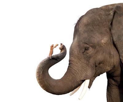 Farelerin spermleri fillere oranla daha büyük