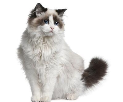 Kediler sahibinin aksanına göre miyavlıyor