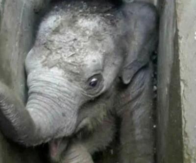 Yavru filin zor anları