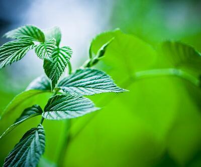 Enerjinizi zirveye taşıyacak 10 bitki