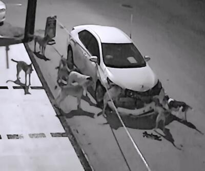 Sokak köpekleri araba parçaladı
