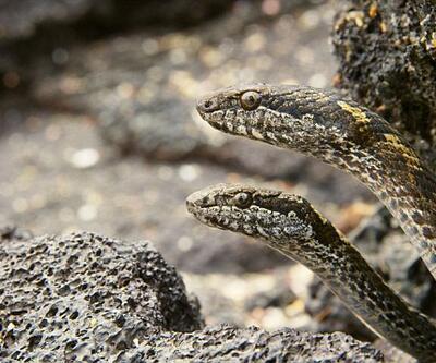 Yılanların yavru iguanalara saldırdığı anlar izleyicileri 'korkuttu'