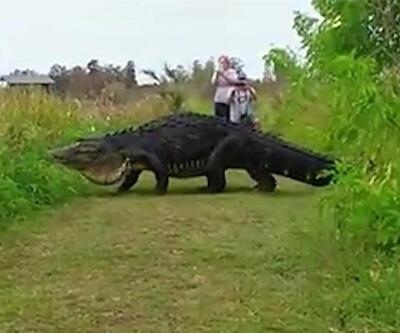 Dev timsah ulusal parkta böyle görüntülendi