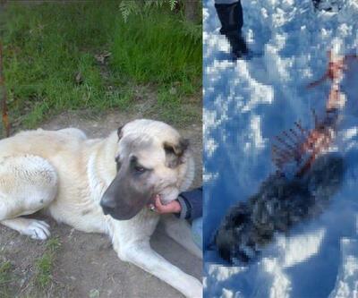 Ankara'da aç kurtlar mahalleye inip köpeği yedi