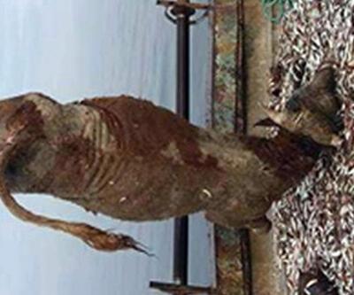 Balıkçı ağlarına 700 kiloluk dana takıldı