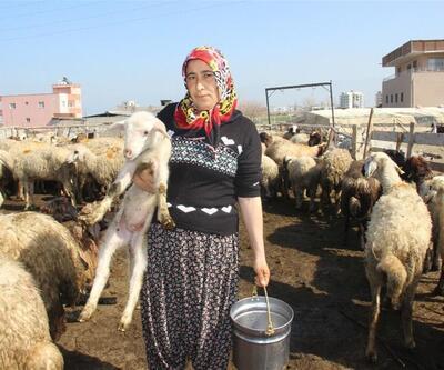 Sürü sahibiyken çoban oldular: 5 TIR dolusu koyunu kaptırdılar