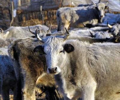 Nesli tehlike altındaki boz ırk sığır koruma altına alındı