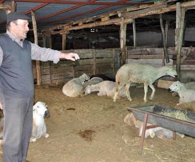 Yozgat'ta 40 koyun telef oldu
