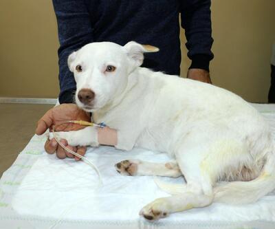 Köpeğin cinsel organındaki havuç operasyonla çıkarıldı