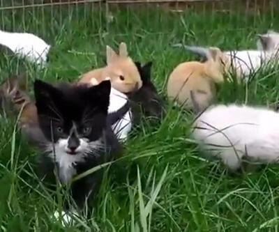 Kendini tavşan zanneden yavru kedi