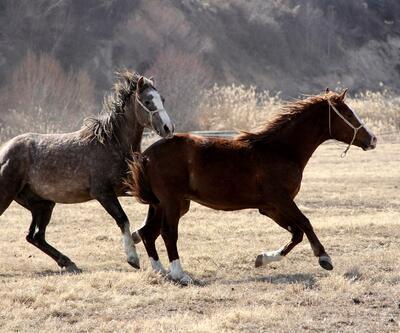 Arap atlarıyla ilgili karar Resmi Gazete'de