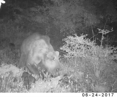 Vahşi doğanın domuzu, tavşanı, tilkisi fotokapanda