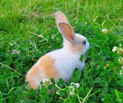 Kaybolan tavşanı Tarçın'ı ilanla arıyor