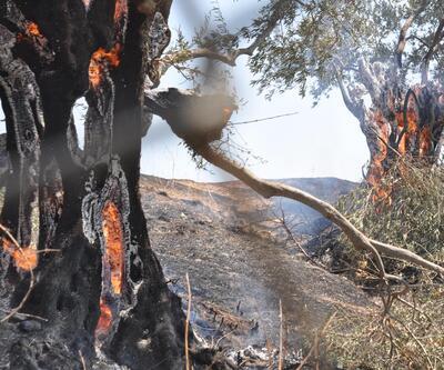 Aydın'da 200 zeytin ağacı yandı