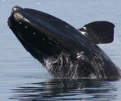 Kanada'da balina alarmı: Ölümler 'felaket' boyutuna ulaştı