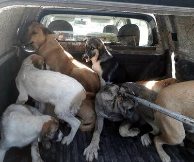 Silvan'da 'hasta' sokak köpeklerini topluyorlar