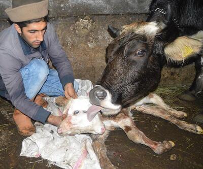 Ağrı'da ineğin yavrusu çift başlı doğdu