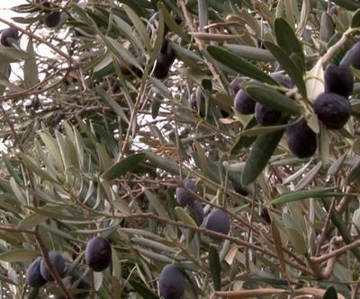 Zeytin'de uygulanan yeni yöntem rekolteyi yüzde 50 arttırdı