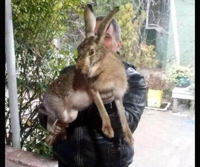 Dev yaban tavşanı görenleri şaşkına çevirdi