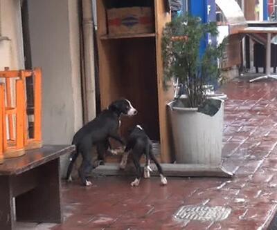 İstiklal'in göbeğinde köpek dövüşü