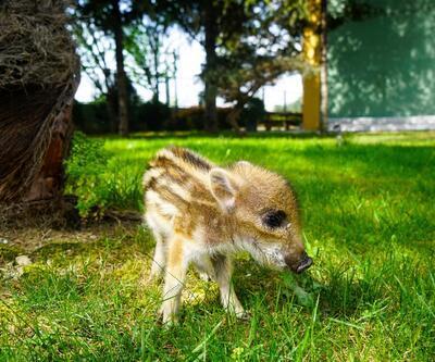 Doğada bulunan yavru domuz koruma altına alındı