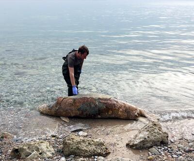 Muğla'da kıyıya vurdu: Ağırlığı 250 kilo