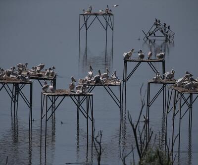 """Tepeli pelikan""lara yapay platformlu kuluçka desteği"