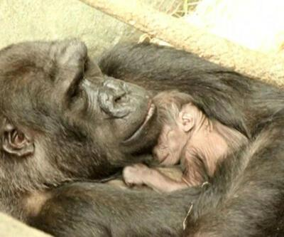 Bebek goril 'Ali' dünyaya geldi