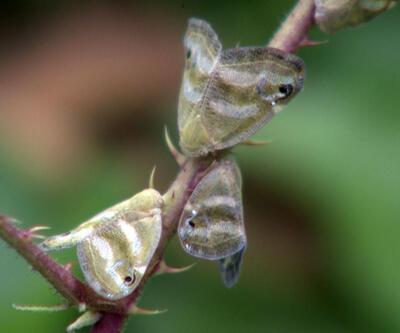 Vampir kelebekle nasıl mücadele edilir?