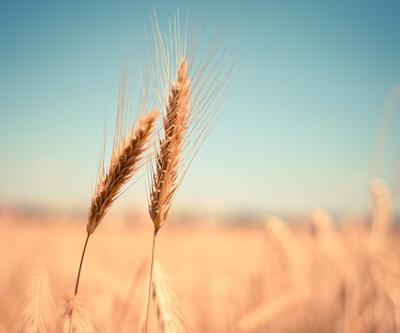 Dünyanın sadece 26 günlük buğdayı kaldı
