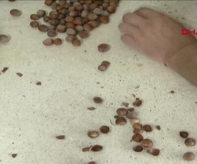 Üreticiden 12 liraya alınan fındık işlenip 60 liradan satılıyor