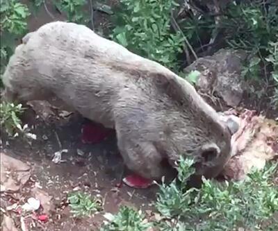 Köye inen bozayı, koyun postunu götürdü