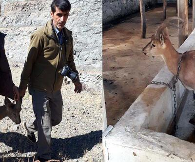 Çoban köpeklerin kovaladığı yaban keçisi, ahıra sığındı