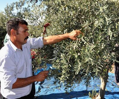 Osmaniye'de zeytin hasadına başlandı