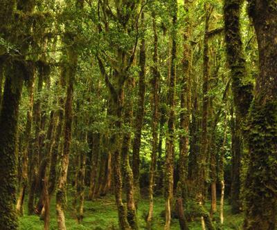 Fırtına Vadisi'ndeki şimşir ormanları kuruyor (2)