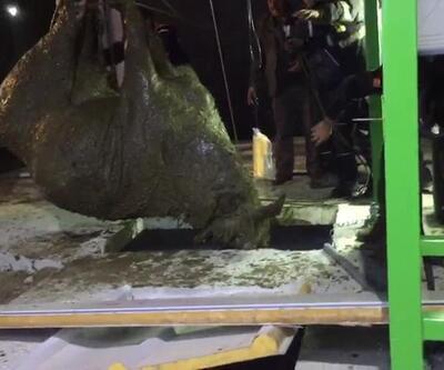 Foseptiğe düşen gebe inek kurtarıldı