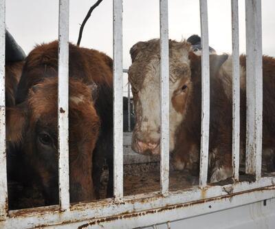 Genç çiftçiler, hibe büyükbaş hayvanları almadı