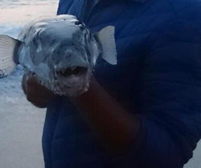 Alanya sahilinde balon balığı paniği